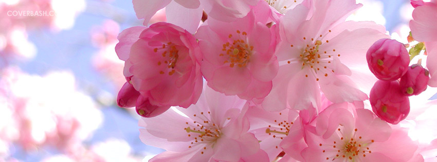 Pink Flower Facebook Cover Coverbash Com